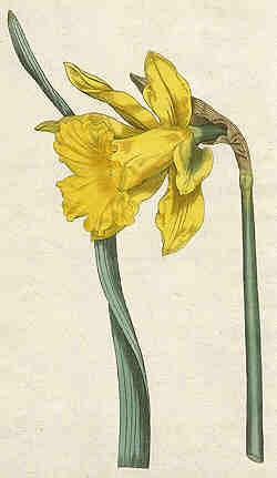 Oswald : Airs for the seasons - Daffodil : illustration
