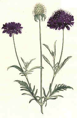 Oswald : Airs for the seasons - Scabious (Kbd) : illustration
