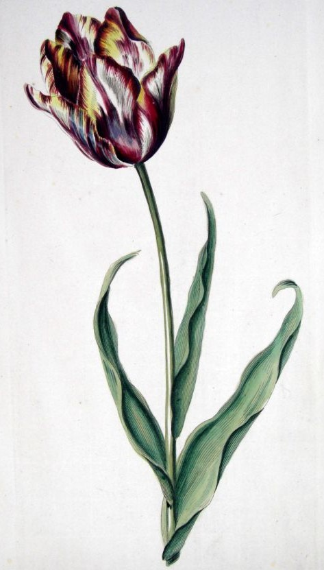 Oswald : Airs for the seasons - Tulip : illustration