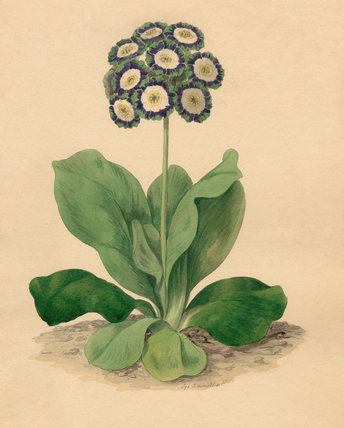 Oswald : Airs for the seasons - Auricula : illustration